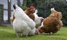 Un poulailler dans votre jardin vous réjouira sans aucun doute par la production d'oeufs frais qu'il vous apportera. Autre avantage des poules : elles sont omnivores. On peut donc les nourrir avec les déchets ménagers tels que les épluchures des fruits et légumes, les restes des assiettes (pattes, riz, viandes, poissons...) contribuant ainsi au recyclage naturel de votre consommation.