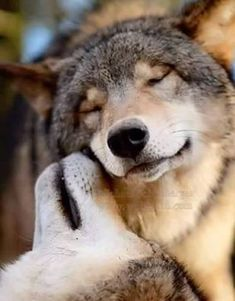 animal kingdom, wolves in love, beautiful wolves, wolf love Wolf Photos, Wolf Pictures, Animal Pictures, Animals And Pets, Baby Animals, Cute Animals, Wolf Spirit, My Spirit Animal, Beautiful Wolves