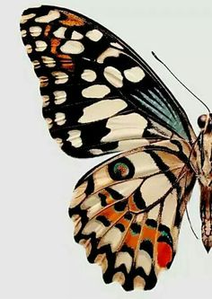 Butterfly illustration or painting / Collections of Objects / Collections of Things / Displaying / Vintage / Ideas / Nature / Antique Inspiration Art, Art Inspo, Jolie Photo, Butterfly Wings, Butterfly Colors, Butterfly Pattern, Butterfly Background, Butterfly Drawing, Orange Butterfly
