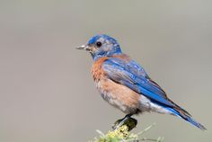 Some birds are better equipped to handle conflict, thanks to an edge given to them by their mothers before they're even born.  Stressed-Out Bluebird Moms Can Shape Entire Bird Communities | Mental Floss
