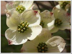 My dogwood flower shot