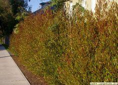 Dodonaea Viscosa Purpurea Purple Hopseed Bush - another hedge choice