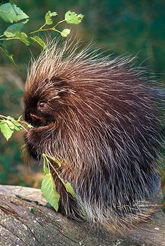 Feeding Porcupine, Montana  Darrel Gulin Photography