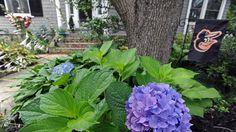 Danny and Shanna Blackwell's garden, Baltimore Sun Garden, Home And Garden, Poison Oak, One Summer, Garden Features, Growing Vegetables, Lilies, Old Houses, Baltimore