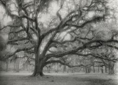 """Ancient Oak"", Photo by Harriet Blum.  This photo was taken at Fountainbleau State Park in Mandeville, LA.  I used black and white infrared film.  It is available in various sizes in B&W, Sepia or hand tinted.  Check out my Etsy shop for sizes and prices. etsy.com/shop/HarrietBlum"