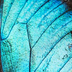 Extreme macro of Blue Morpho butterfly wing. - Abstract, Animal, Background, Beautiful, Beauty, Blue, blue morpho butterfly, bug, butterfly, Closeup, cyan blue, Detail, detailed, geometric pattern, Insect, light, lines, Macro, micro, morpho, moth, Nature, Pattern, pretty, Shiny, stripes, Texture, Textured, turquoise background, vein, wing, wings