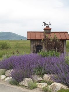 Lavendar is dying in Frances and all over Europe. I hope that we do not lose this gorgeous flower.