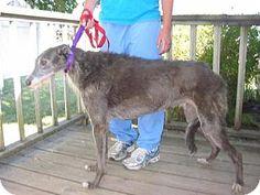 Valparaiso, IN - Scottish Deerhound Mix. Meet Lotus a Dog for Adoption.