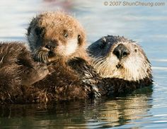 Baby Sea Otters | Sea Otter and Baby: Photo by Photographer Shun Cheung - photo.net