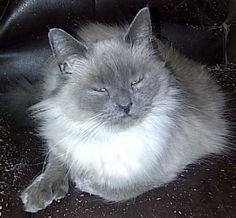 Twinkle Toes aka Mama Sunday is an adoptable Ragdoll Cat in Billings, MT. 1yr old and super sweet kitty gets along with other cat and has been around children and is used to dogs. She has been in fost...
