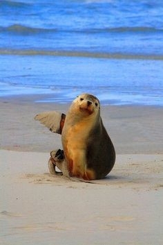 adorable seal pointing to its right