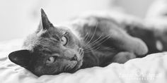 silver blue sleepy cat  pet lifestyle photography surrey laurawetherall.com photographer of gorgeous things!