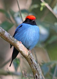 Tangará - Blue Manakin (Chiroxiphia caudata) | Flickr - Photo Sharing!