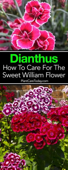 Dianthus pinks Sweet Williams floriferous vibrant appearance are excellent ornamental choices for a wall garden rock garden or simple borders. Dianthus Flowers, Flowers Perennials, Dianthus Perennial, Dogwood Flowers, Growing Flowers, Planting Flowers, Sweet William Flowers, Spring Plants, Gardens