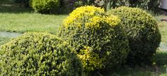 Buxus - shapes