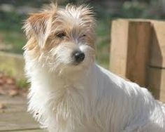 「long haired jack russell terrier puppies for sale in kent」の画像検索結果