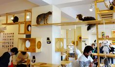 Cat cafe in Tokyo / Cat cafés are quite popular in Japan; Tokyo being home to at least 39 cat cafés. This popularity is attributed to many apartments forbidding pets, and to cats providing relaxing companionship in what may otherwise be a stressful and lonesome urban life. Other forms of pet rental, such as rabbit cafes, are also common in Japan. There are various types of cat café. Some feature specific categories of cat such as black cats, fat cats, rare breed cats or ex-stray cats.