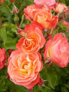 coral wild roses