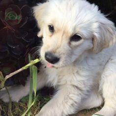 A sweet golden retriever puppy