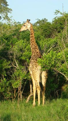Best News Ever: Skukuza Airport at Kruger National Park has re-opened 19 February Fedair also known as Federal Air in Kempton Pa. Kruger National Park, South Africa, Giraffe, Animals, Giraffes, Animales, Animaux, Animal Memes, Animal