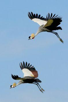 The Royals of Serengeti - Crowned Cranes -