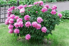 Types Of Flowers, Types Of Plants, Peony Care, Peony Bush, Comment Planter, Growing Peonies, Avocado Tree, Companion Planting, Autumn Garden