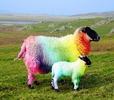 Dyed Lambs | PICTURES] Awesome Dyed Sheep on Display in Scotland