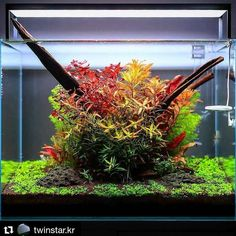 All about colour! Beautiful layout by TWINSTAR using different species of stem plants. #Aquaflora #Aquascaping #planted #aquarium #aquatic #plant #freshwater #plantedtank #aquascape #plantedaquarium #Twinstar
