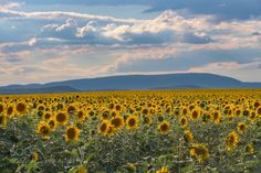 Sunflower Field by csillogo11 via http://ift.tt/2sJlHXD