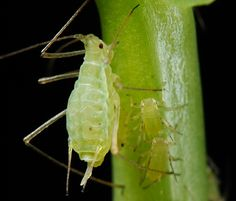 Aphids and marijuana. How to control aphids. Prevent aphids in a cannabis garden. Learn how to grow cannabis at Cannabis Training University. How To Kill Aphids, Get Rid Of Aphids, Garden Insects, Garden Pests, Plant Pests, Herb Garden, Vegetable Garden, Weeping Trees, Types Of Insects