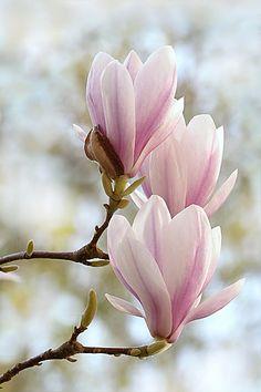 """Résultat de recherche d'images pour """"magnolia"""""""