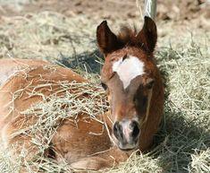 Arabian Horses Mare and Foal | Arabian foal