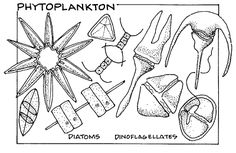 Possible coloring pages for first part of Unit one.  Phytoplankton and zooplankton.  Do look at color pictures too, as plankton are awesome in diversity and complexity (and beauty!).