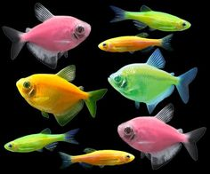 Glofish long fin electric green tetra glofish tank and for Spring water for fish tank