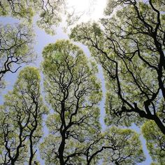Crown shyness is a fascinating phenomenon in which the highest branches of a tree canopy mysteriously avoid touching each other