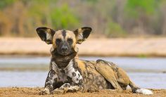 African Wild Dog close to Chindeni Camp, Zambia. Also called Painted Dogs, they have the largest home ranges of any mammal.  Although the species is in danger, wild dogs are often poisoned as vermin.