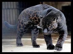 Black panter!