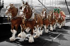 horses in action | clydesdale draft horse sells for $ 212500