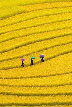Walking through Golden fields