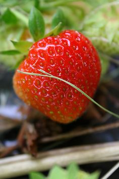 How to Grow Strawberries in Pots at Home =