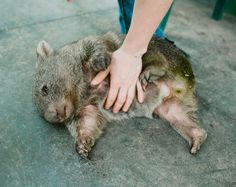 Douglas The Wombat Really Loves Belly Rubs And It Is Adorable. He is so cute!