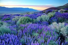 Eastern Sierra Lupine Sunrise  Another flower explosion for you, courtesy of the Sierra Nevada foothill