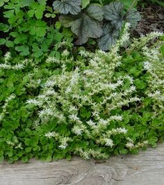 Sedum ternatum 'Larinem Park' Stonecrop from North Creek Nurseries Ferns Garden, Shade Garden, Summer Flowers, Wild Flowers, Ground Cover Shade, North Creek, Balcony Plants, Water Wise, Shade Plants