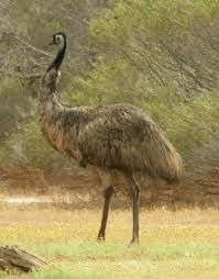 australian animals - emu
