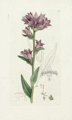 Campanula glomerata by James Sowerby Botanical Prints 1791