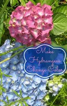 How to Make Hydrangeas Change Colors Hydrangeas are one of the most beautiful flowers in people's gardens. What's even more unique about this cluster flower is that the colors can change dramatically based on the pH level of the soil.  Even one plant can grow different colored blooms depending on which roots are feeding that...Read More »