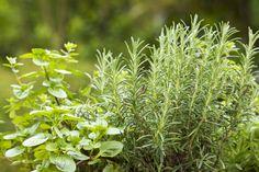 ガーデニングを楽しむうえで、雑草の駆除は大変な作業の1つですよね。いくら抜いても生えてきて、気が抜けない…という方も多いのではないでしょうか?そんな方は、ハーブをグランドカバーとして植えるのがおすすめです。美しい緑を楽しめるだけでなく、防虫効果も期待できますよ。今回は、グランドカバーにおすすめのハーブを8つご