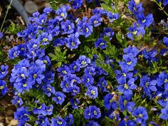 Dampiera diversifolia An Australian native ground cover. Covered in deep blue flowers from spring to early summer. Thrives in a partly shaded position with good drainage, tolerates some dryness. Perfect for rockeries and retaining walls.