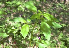 jewelweed: the 'weed' that's a wildlife gem - A Way To Garden