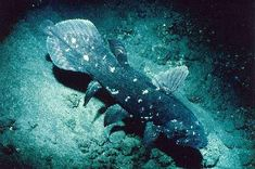 Long believed to be extinct, my favorite fish, the deep-sea Coelacanth (unchanged for millions of years)